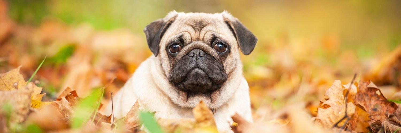 Capa Facebook pets-capa-para-twitter-cachorro-pug Capas para Twitter